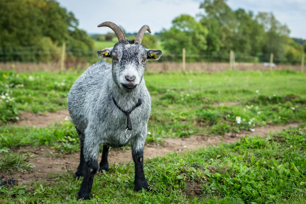 veganerforening, dyr, etik, dyreetik